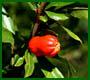 Profumi del Gargano -Fiore di Melograno